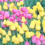 Одри Хепберн и тюльпаны