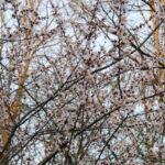 Сакура цветет в Москве. Московская сакура.