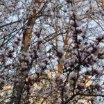 Сакура цветет в Москве.Московская сакура.