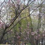 Сакура цветет в Москве. Московская сакура