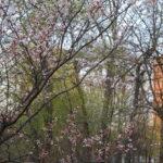 Московская сакура.Сакура цветет в Москве